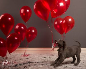 Weimaraner puppy and red balloons