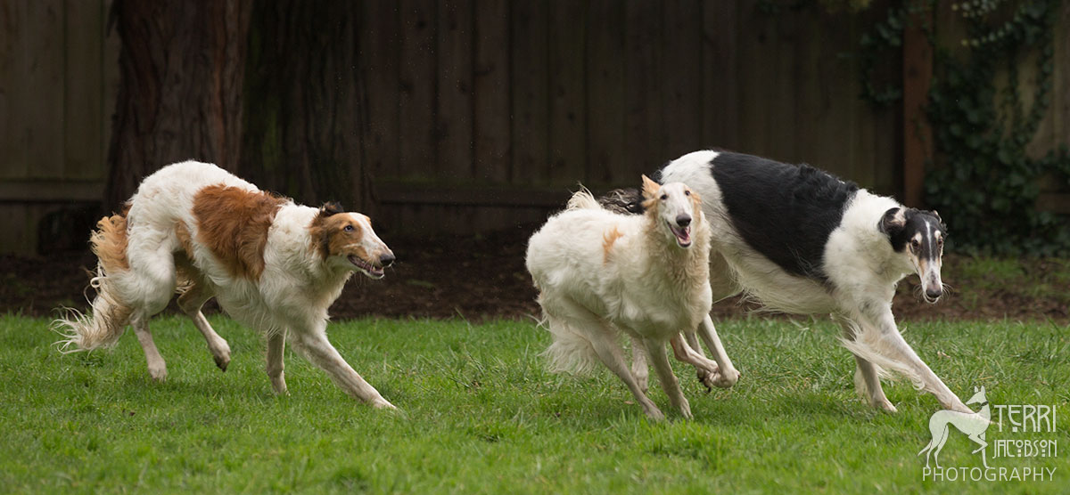 Three borzoi running