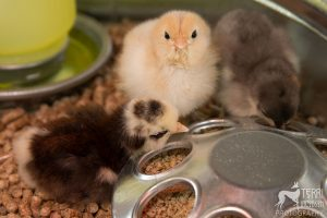 Two-day old chicks