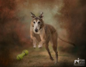Greyhound leaping